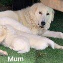 Maremma pups -3