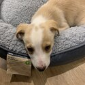 A cute Border Collie Puppy