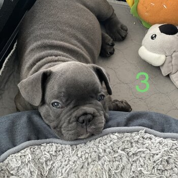 Pedigree French Bulldog with papers