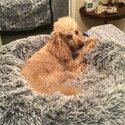 Pure breed Minature Poodle-1