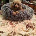 Pure breed Minature Poodle-0