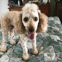 Miniature Poodle for Stud - Dark Apricot-5