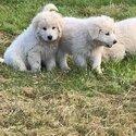 Maremma pups -4