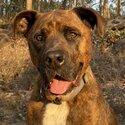 Billy Boxhead, a beautiful dog looking for a loving home in the countryside
