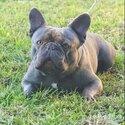 Pure Breed French Bulldog Stud Service -0