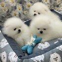 Dazzling Little White Pomeranian