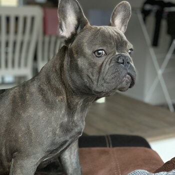 Not for sale French bulldog Stud