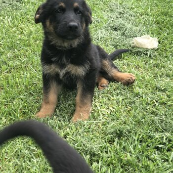 Purebred puppy germane shepherd