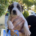 American staffy puppies -4