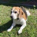 Beautiful beagle male available for studding.-2