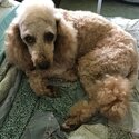 Miniature Poodle for Stud - Dark Apricot-4