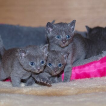 Pure Russian Blue Kittens One Boy - One Girl Left