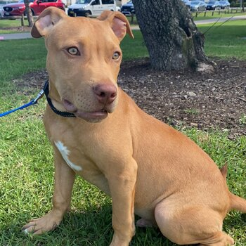 Red nose American Staffy