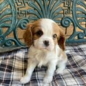 Pure Cavalier King Charles Spaniel Puppies