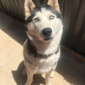 Siberian Male Huskey- Not for sale