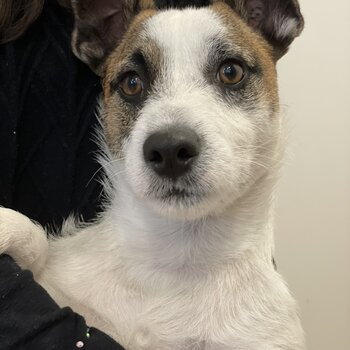 Lovely Jack Russell