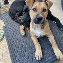 Kelpie x Bullmastiff Puppy