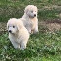 Maremma pups -1