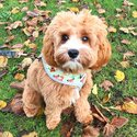 Lovely male Cavapoo pup for re-homing-1