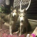 Pure breed Siberian husky pups-5