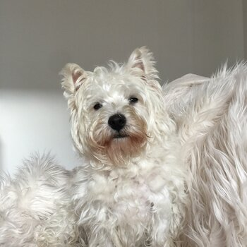 """West Highland White Terrier Pure Bred """"Main Register"""" Stud"""