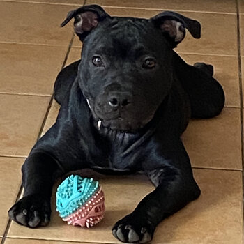 Rehome very much loved Male 6 Month English Staffy