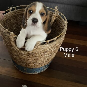 Beagle X Terrier Puppies for Sale