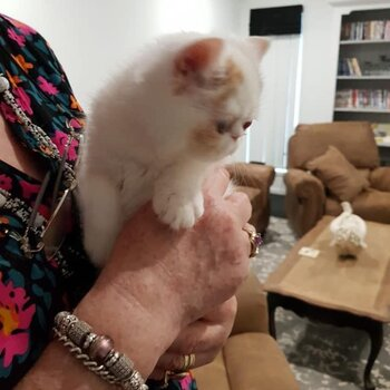 Gorgeous Purebred Show Quality Exotic Shorthair/Persian Kitten