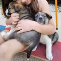 Healthy, happy, cuddly and resilient puppies. Border Collie X Norwegian Elkhound