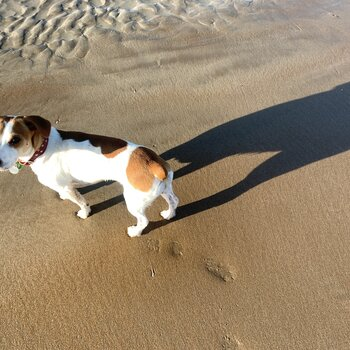 Beautiful Natured Jack Russell Lady looking for a Dad