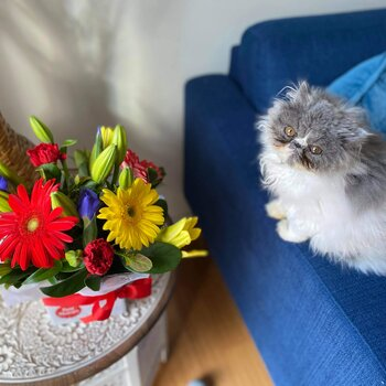 Female Persian kitten dual colour white & grey 11 months old