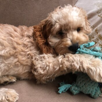Cavoodle male stud available