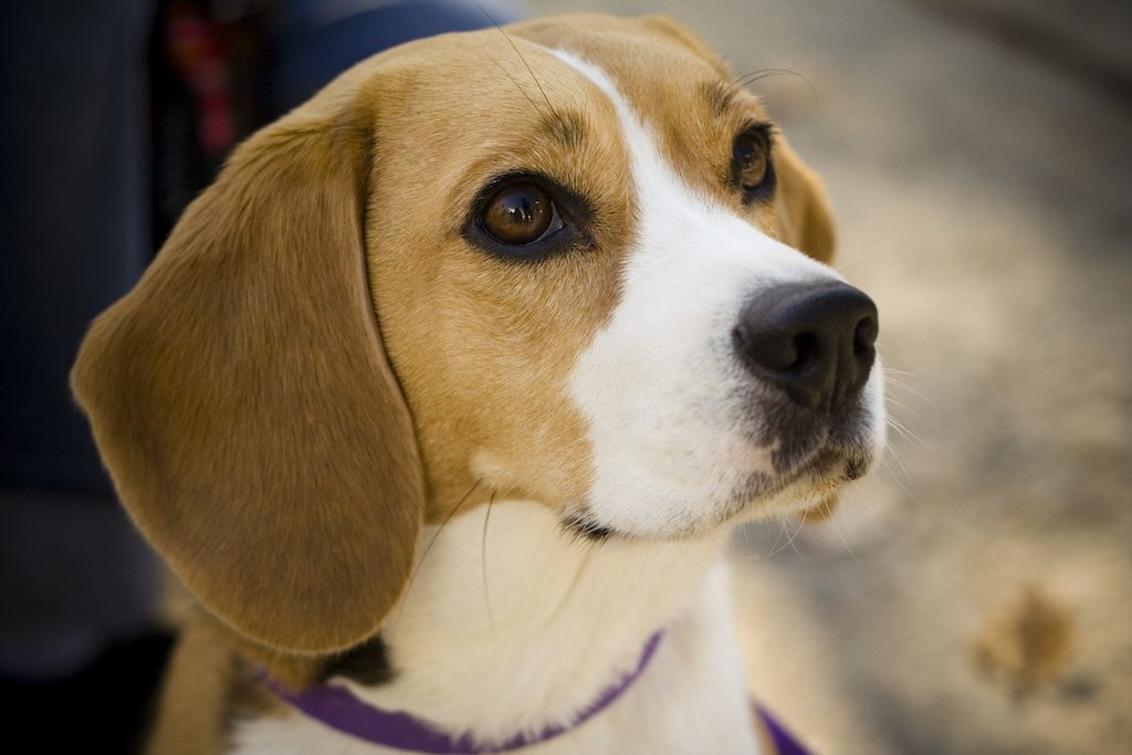 For Sale Beagles