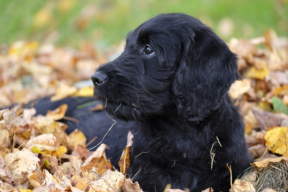 Labradoodle Puppies For Sale - Pet Adoption and Sales