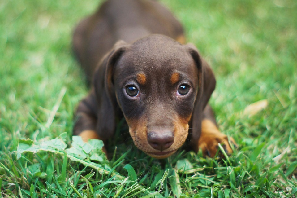 Dachshund Puppies For Sale - Pet Adoption and Sales