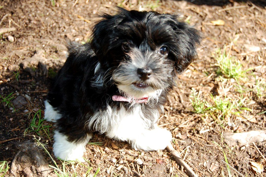 Havanese Puppies For Sale - Pet Adoption and Sales