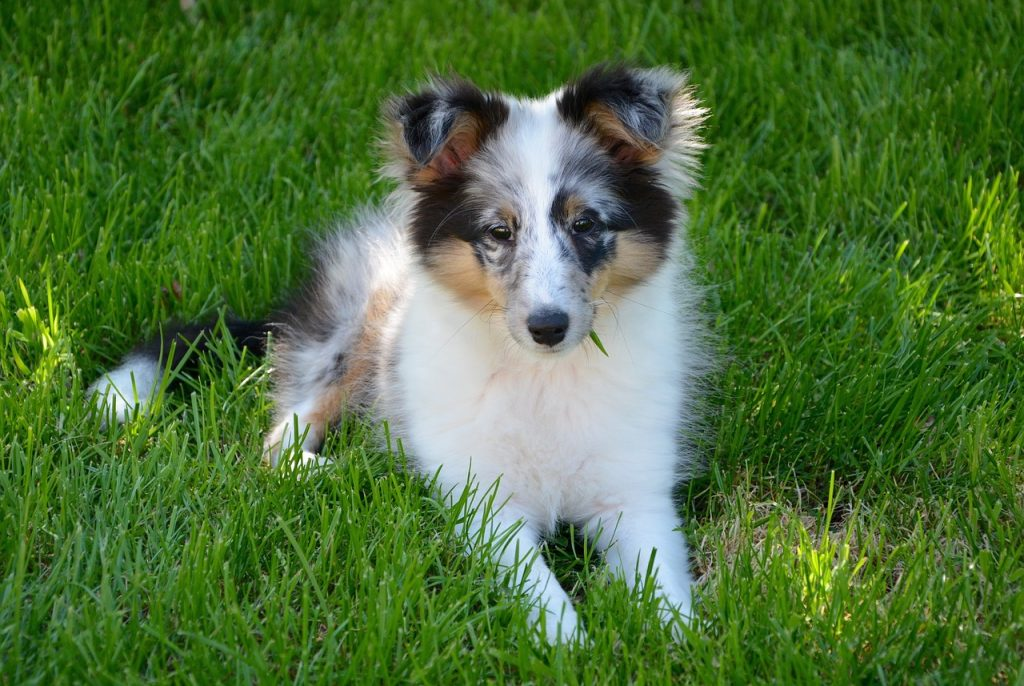 Sheltie Puppies For Sale Pet Adoption And Sales