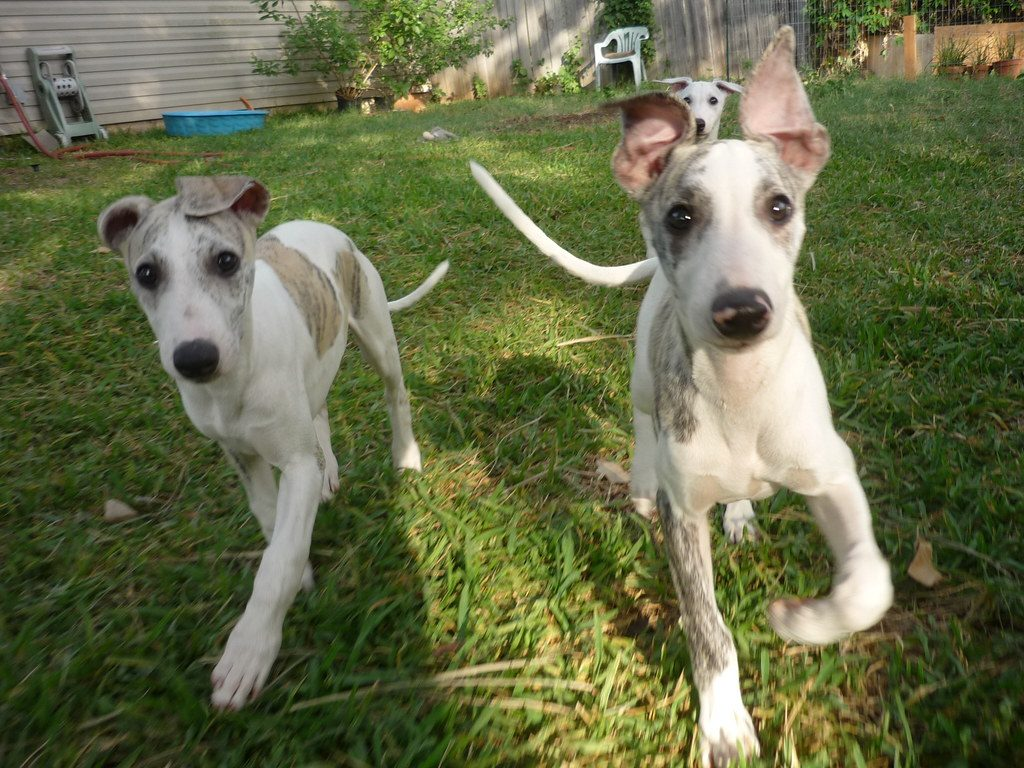 Whippet Puppy For Sale