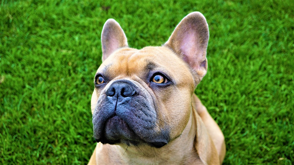 Stud French Bulldog