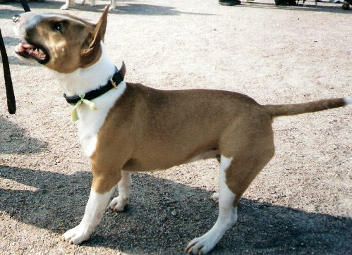 For Sale Miniature Bull Terrier