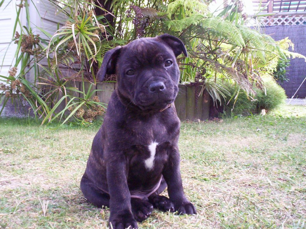 Blue Staffy Puppy Pet Adoption And Sales
