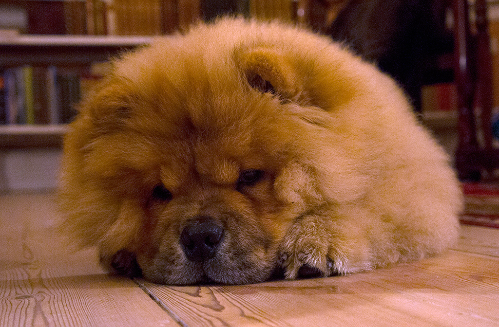 Chow Chow Puppy For Sale In Singapore