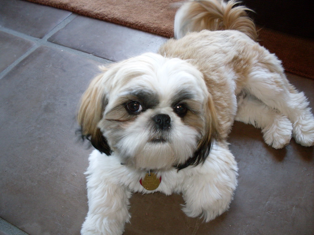 Maltese Shih Tzu Puppy For sale - Western Australia